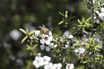 The Trouble with Manuka Honey
